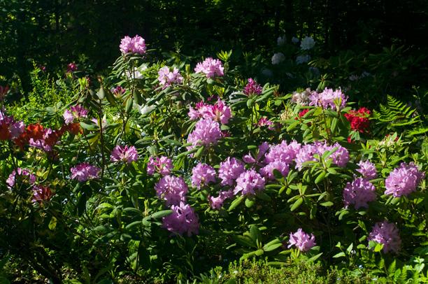 Rhododendron Minnetonka_web