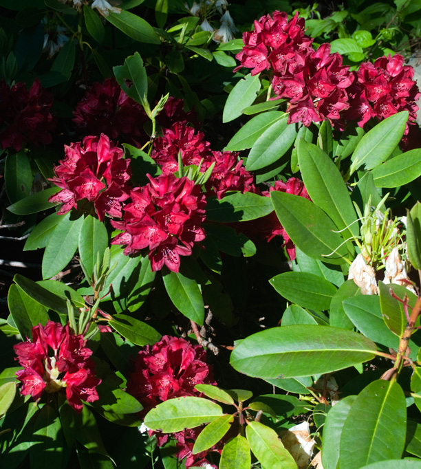 Rhododendron Henry's Red_web