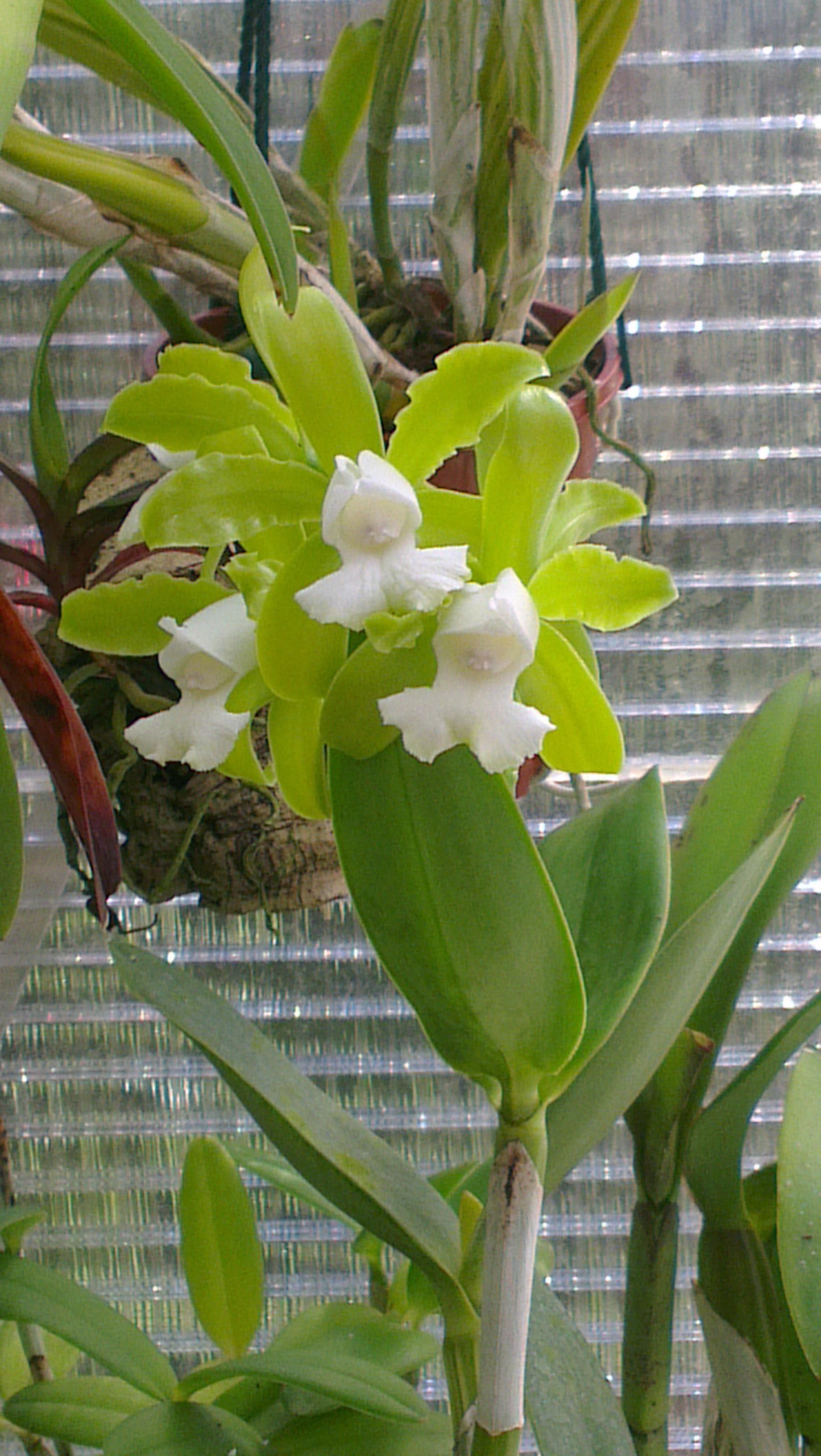 Cattleya guttata var.alba 13070908502716321511364139