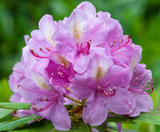 Rhododendron Harrisville_web