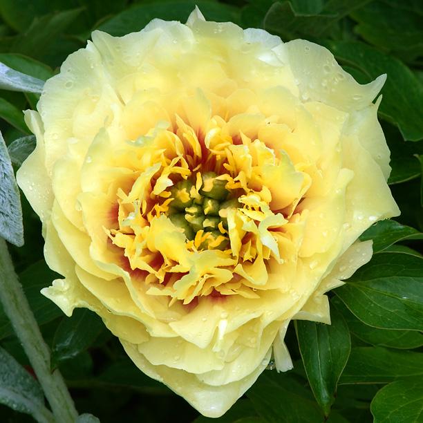 Paeonia jaune Itoh inconnue_web