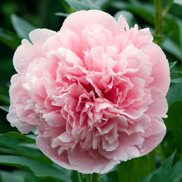 Paeonia Etched Salmon 1_web