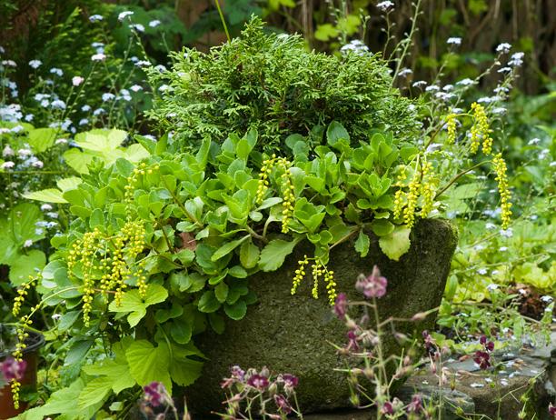 Chiastophyllum oppositifolium_web