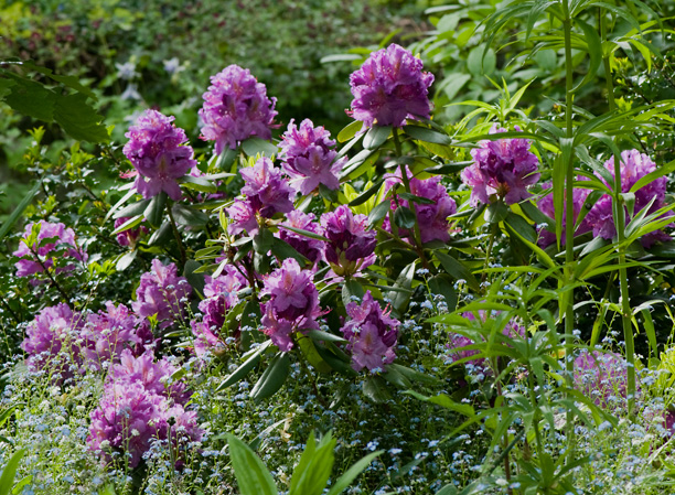 Rhododendron Connecticut Yankee_web