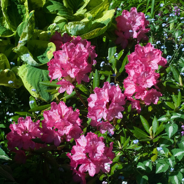 Rhododendron Norman Behring_web