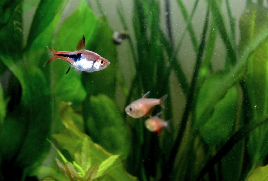 Début de reproduction Rasbora arlequin 13071310573312740911377045