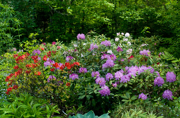 Rhododendrons_web