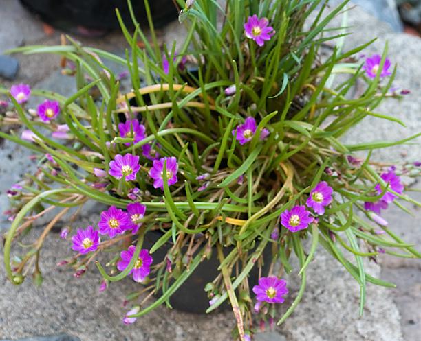 Lewisia pygmaea_web