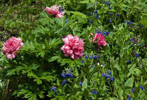 Paeonia Berry Garcia Cynoglossum nervosum 1_web