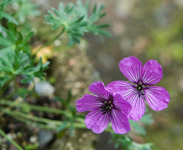 Geranium argenteum_web