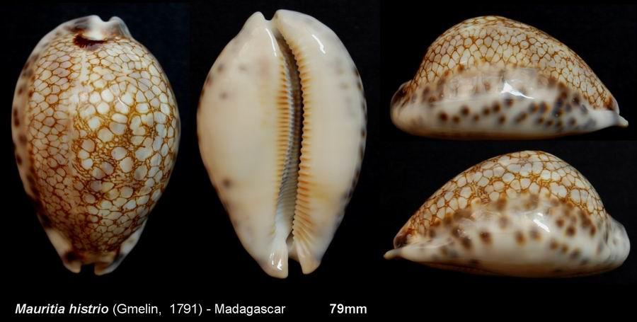 Mauritia histrio - (Gmelin, 1791) - Page 2 13072912054914587711420480