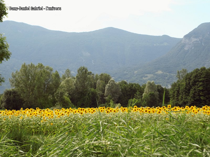 tournesol fleur alpes