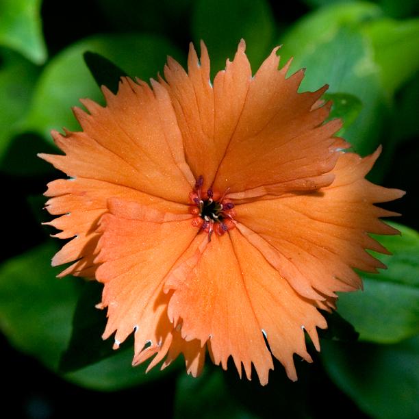 Lychnis coronata Orange Sherbet_web