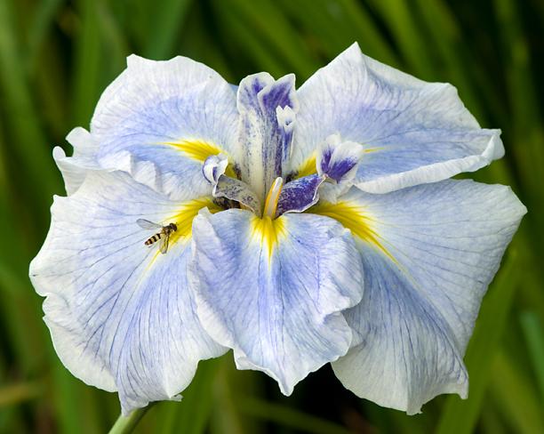 Iris ensata Icy Peaks_web