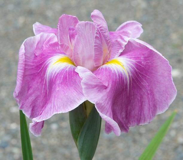 Iris ensata Dirigio Pink Milestone_web
