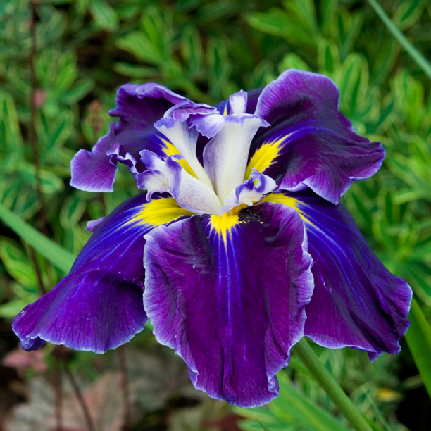 Iris ensata FROSTED INTRIGUE_web