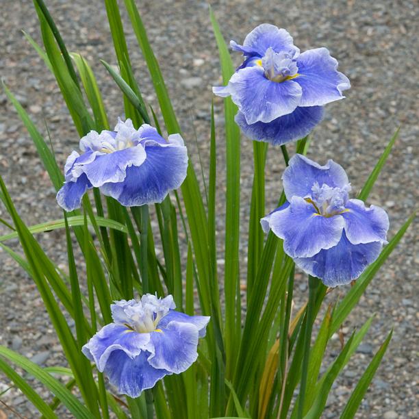 Iris ensata Lake Effect_web