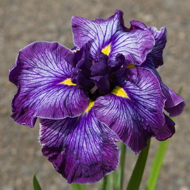 Iris ensata Indigo Angel 1