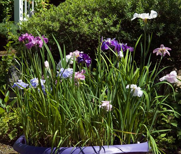 Iris ensata piscine_web