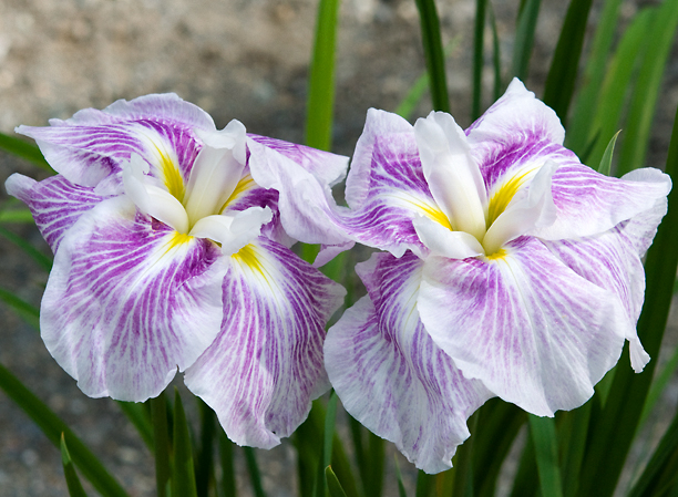 Iris ensata Kogesha_web