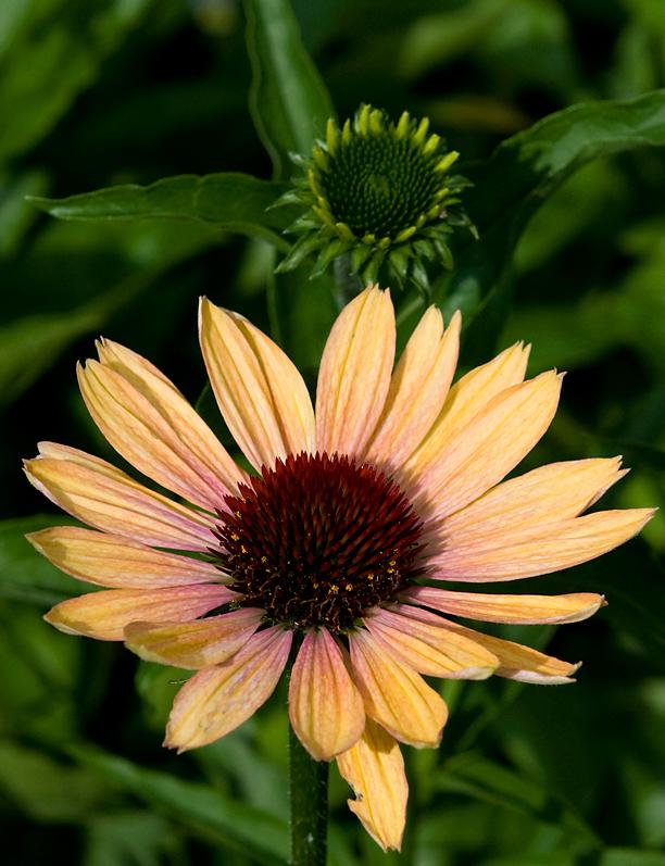 Echinacea Evening Glow_web