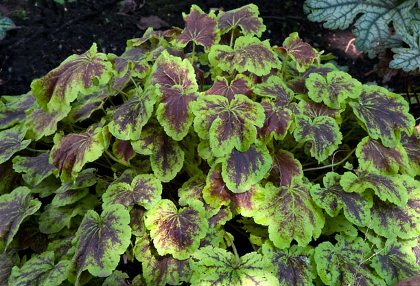 Heucherella Solar Eclipse_web