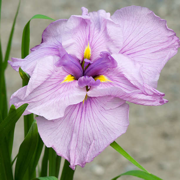 Iris ensata Enchanted Melody_web