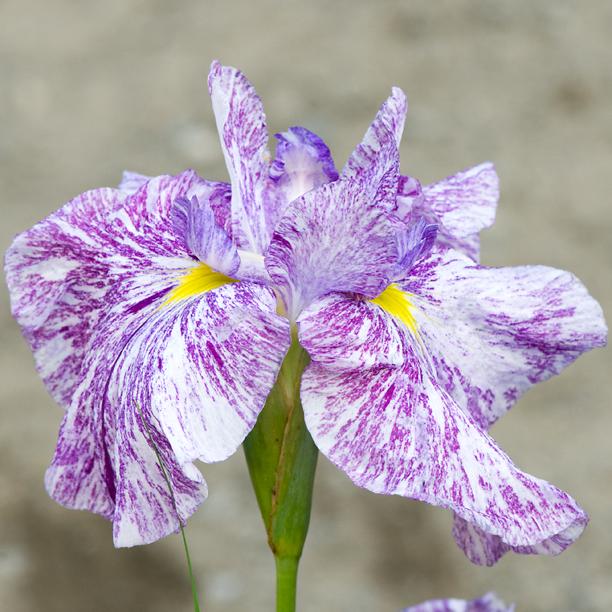 Iris ensata Kiyozuru 1_web