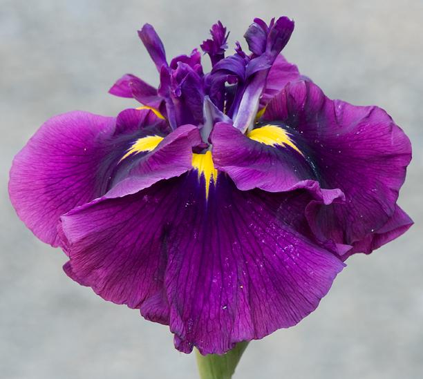 Iris ensata Japanese Plum_web