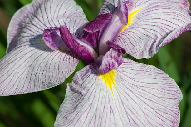 Iris ensata Sanko Nishiki_web