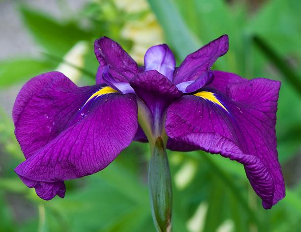 Iris ensata Ruby King_web