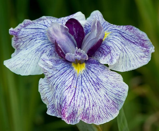 Iris ensata Wind Glider_web