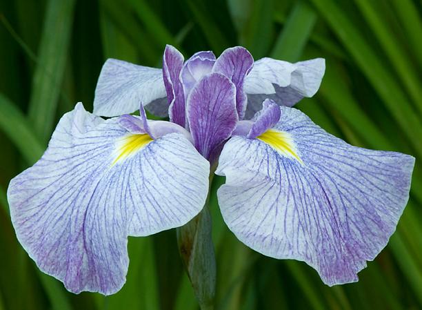 Iris ensata Reveille 1_web