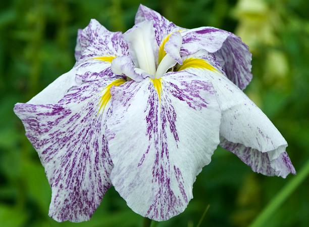 Iris ensata Eden's Picasso 1_web