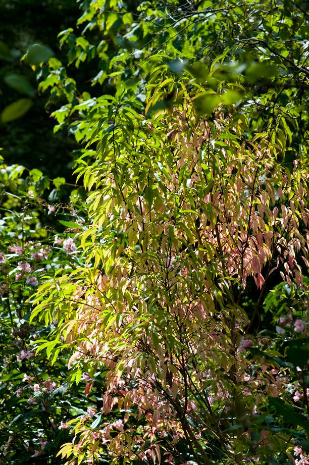 Euonymus hamiltonianus var nikoensis_web