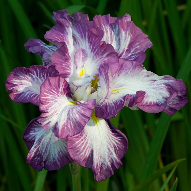 Iris ensata Lion King_web