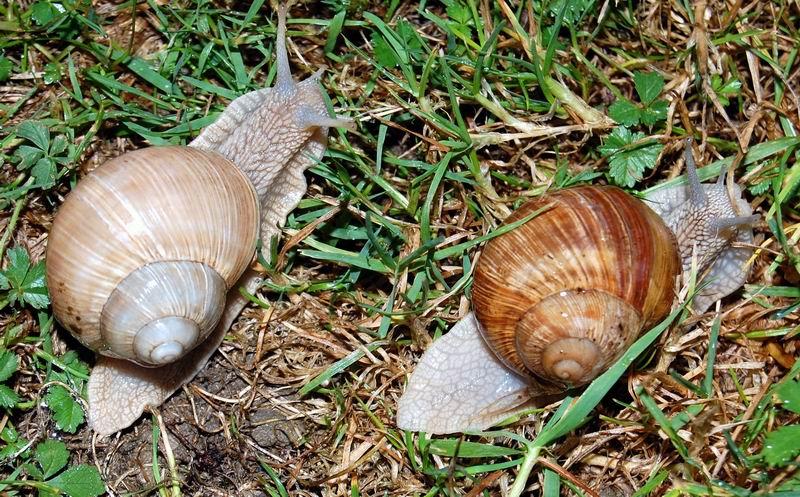 Helix pomatia (Linnaeus, 1758) 13091111370614587711541367