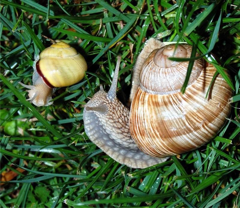 Helix pomatia (Linnaeus, 1758) 13091111370614587711541368