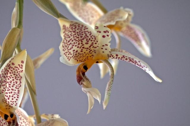 Stanhopea oculata 13091808393016321511564569