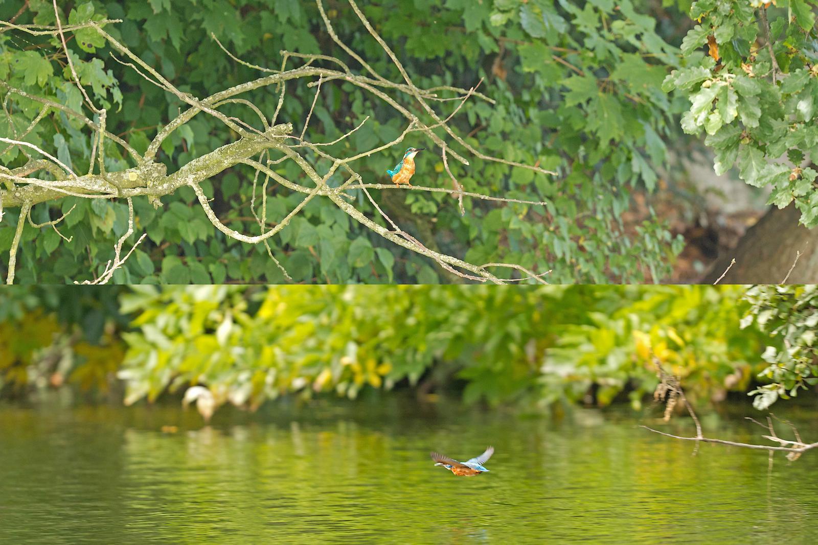 Grand étang de la Woluwe (héron, martin, cormoran, cygne, castagneux) 1309280534385685111591084