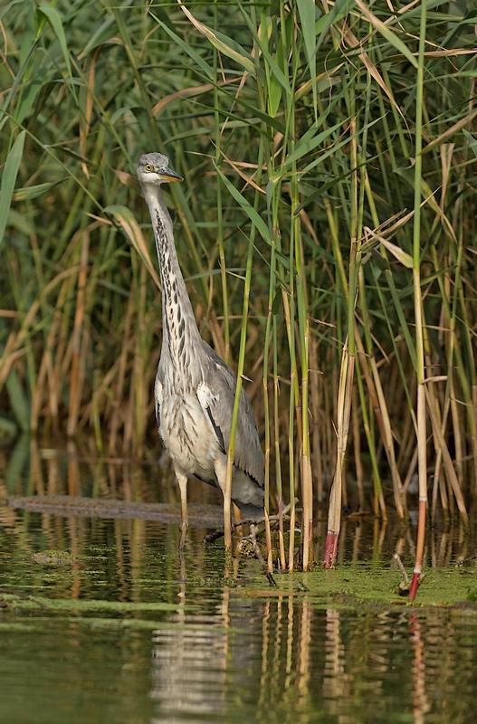 Grand étang de la Woluwe (héron, martin, cormoran, cygne, castagneux) 1309280534385685111591086