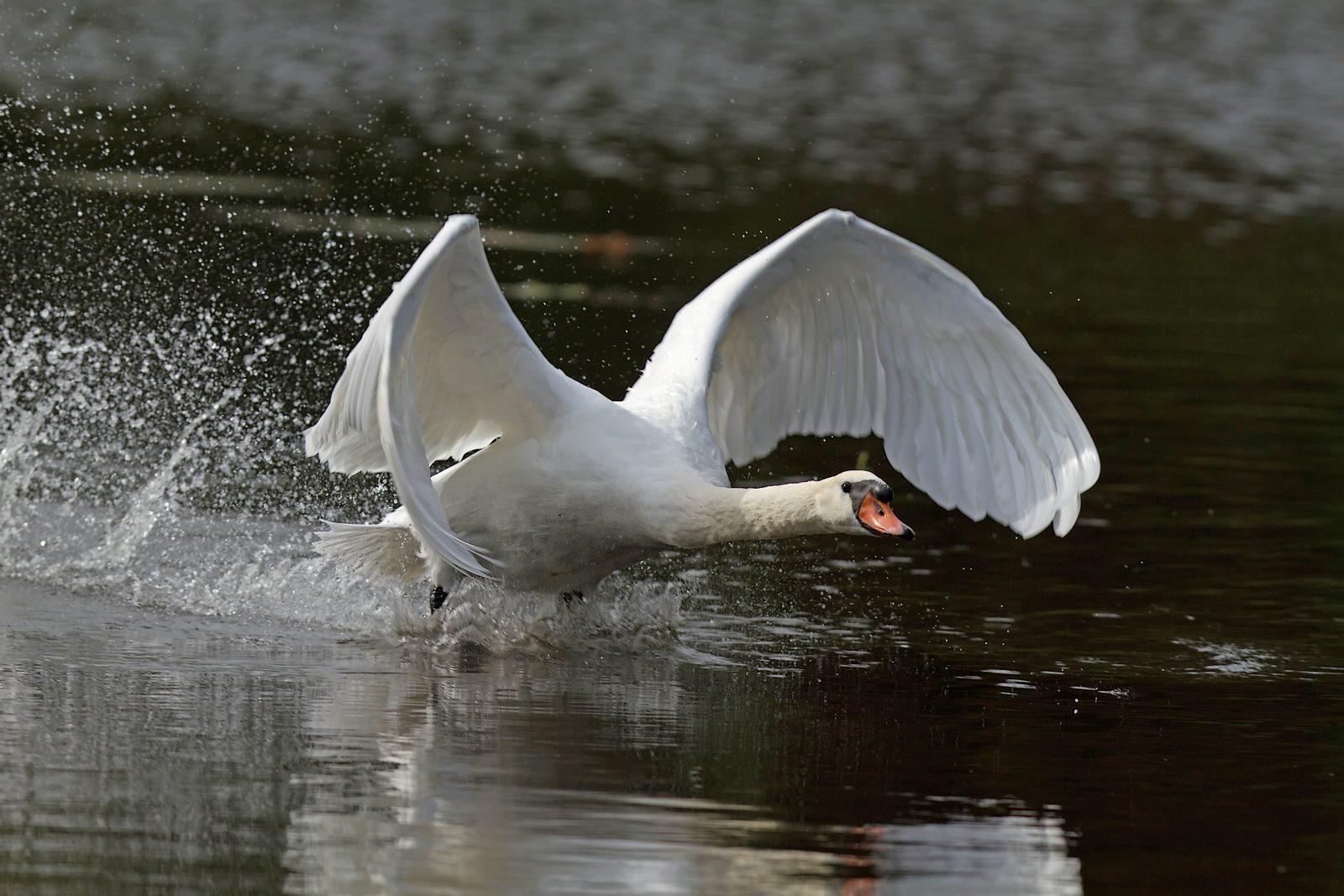 Grand étang de la Woluwe (héron, martin, cormoran, cygne, castagneux) 1309280534385685111591088
