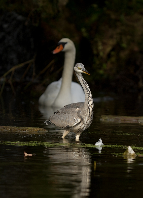 Grand étang de la Woluwe (héron, martin, cormoran, cygne, castagneux) 1309280534385685111591089
