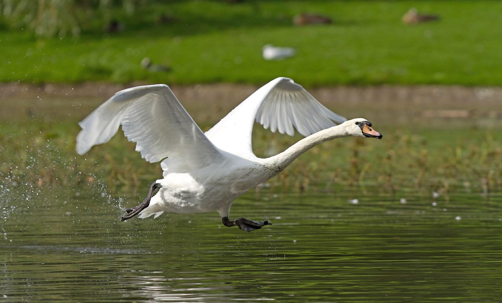 Grand étang de la Woluwe (héron, martin, cormoran, cygne, castagneux) 1309280534395685111591093