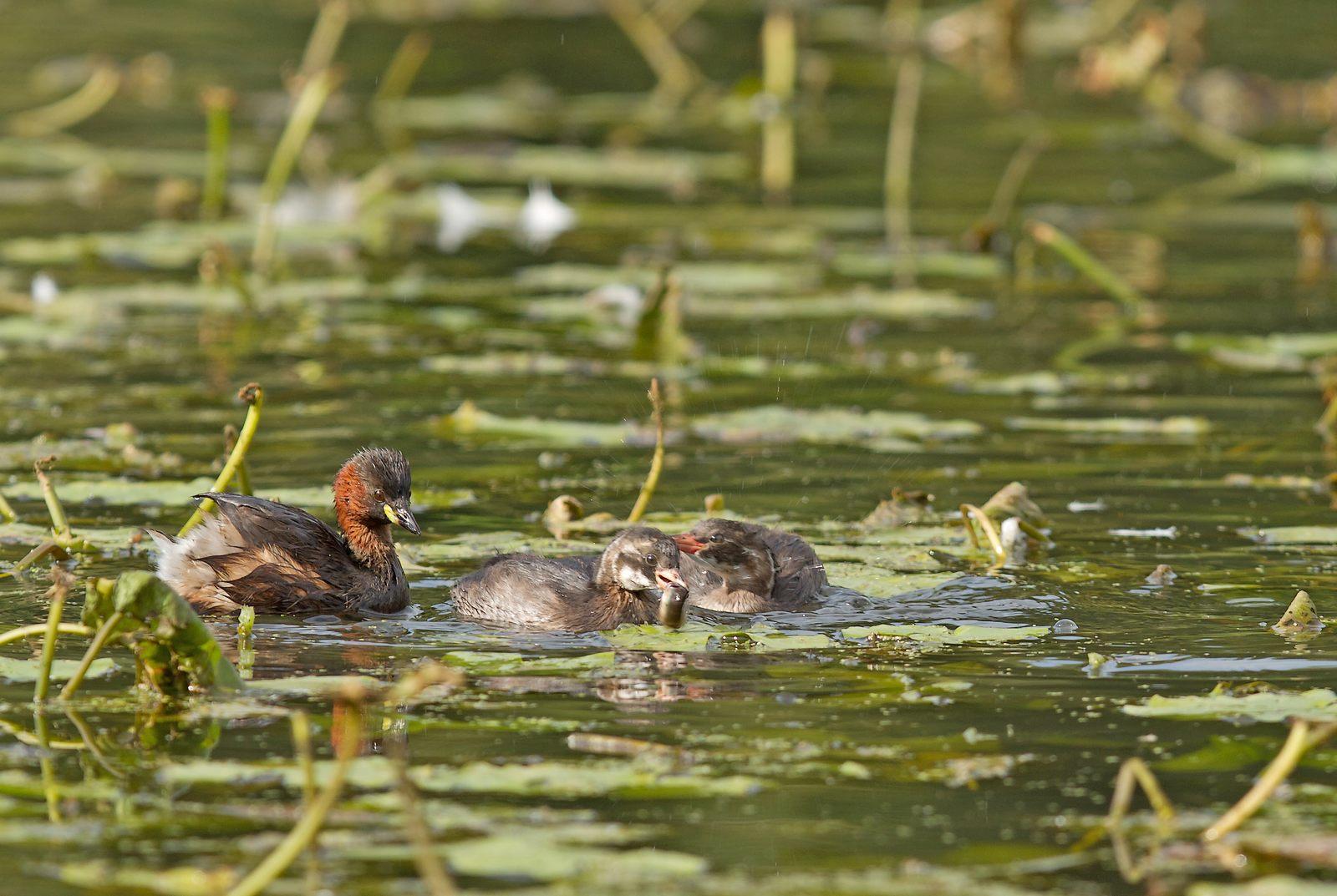 Grand étang de la Woluwe (héron, martin, cormoran, cygne, castagneux) 1309280534395685111591094