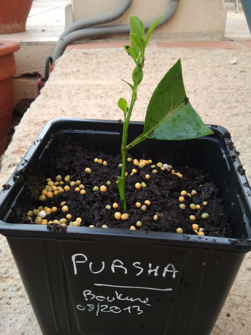 pursha bouture2