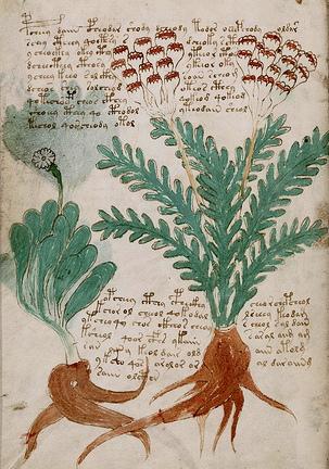 Le code du manuscrit Voynich enfin décrypté (Walter Grosse) 1310090557523850011625019