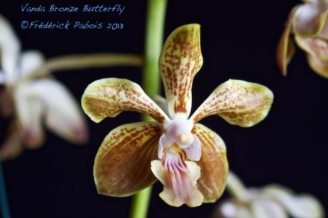 Vanda Bronze Butterfly 13102305572616321511665960