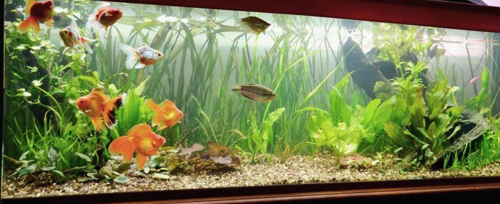 un peu moins de 1000 litres pour des poissons japonais 13102907594512740911685892