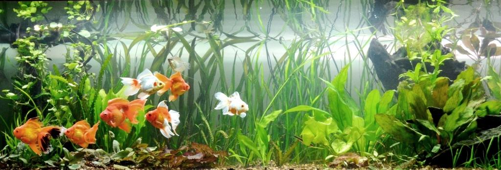un peu moins de 1000 litres pour des poissons japonais 13102907594512740911685893